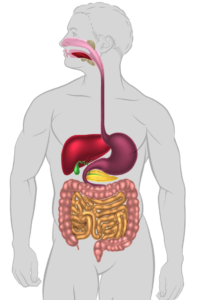 Proteinkvalitet og fordøyelse